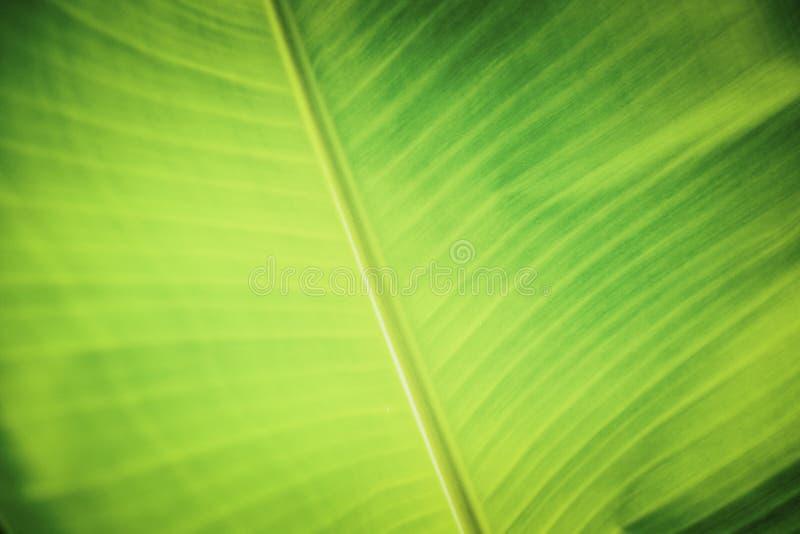 Tło tekstura z zielonymi bananowymi liśćmi fotografia royalty free