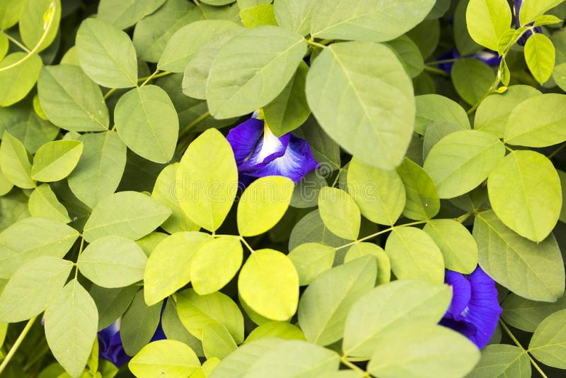 Tło tekstury natury błękit kwitnie motyliego groch i liść zdjęcia royalty free