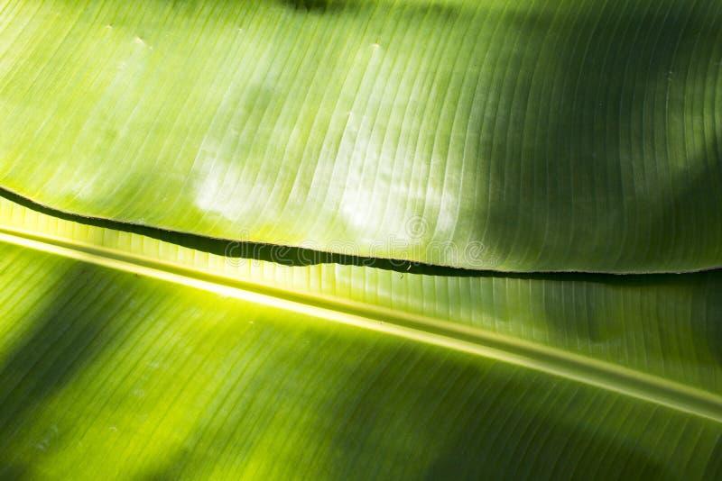 Tło tekstury natury kolorowy jaskrawy bananowy liść zdjęcie stock