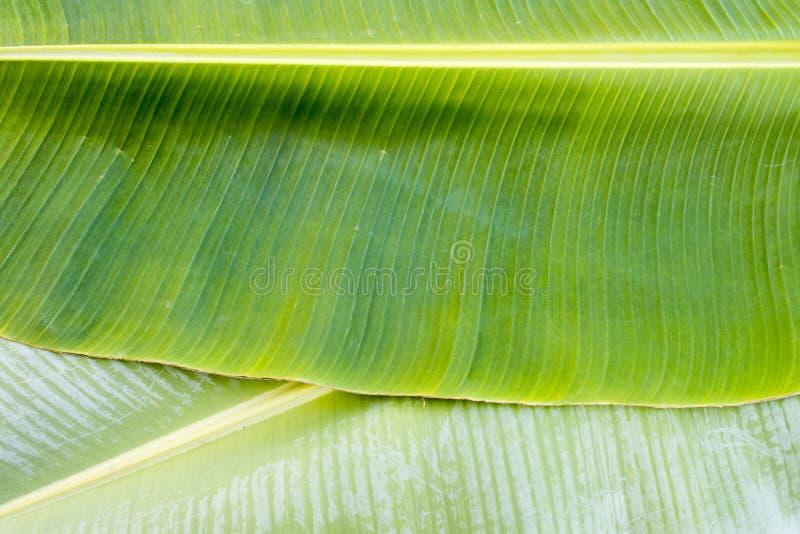 Tło tekstury natury kolorowy jaskrawy bananowy liść zdjęcia stock