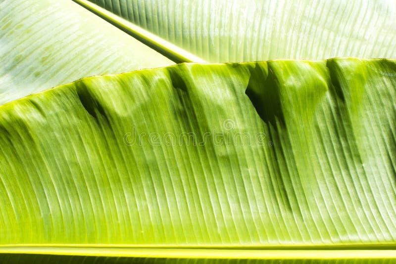 Tło tekstury natury kolorowy jaskrawy bananowy liść obrazy stock