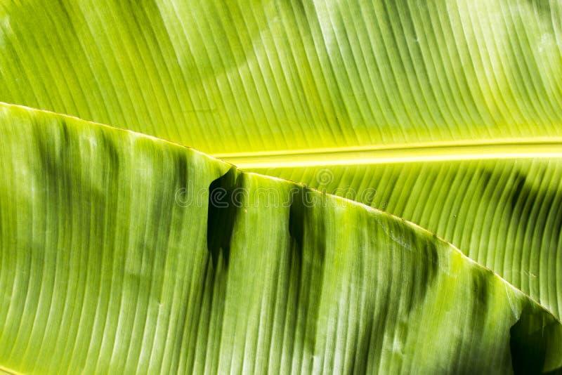 Tło tekstury natury kolorowy jaskrawy bananowy liść obraz royalty free