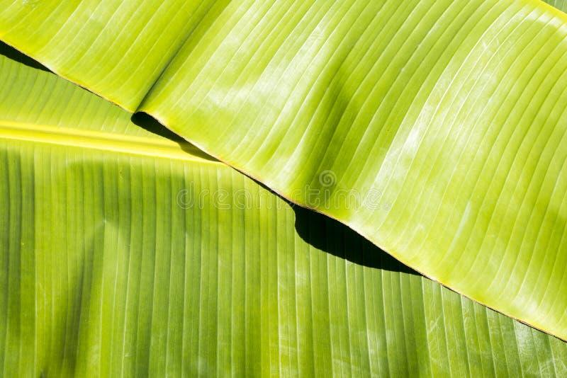 Tło tekstury natury kolorowy jaskrawy bananowy liść fotografia royalty free