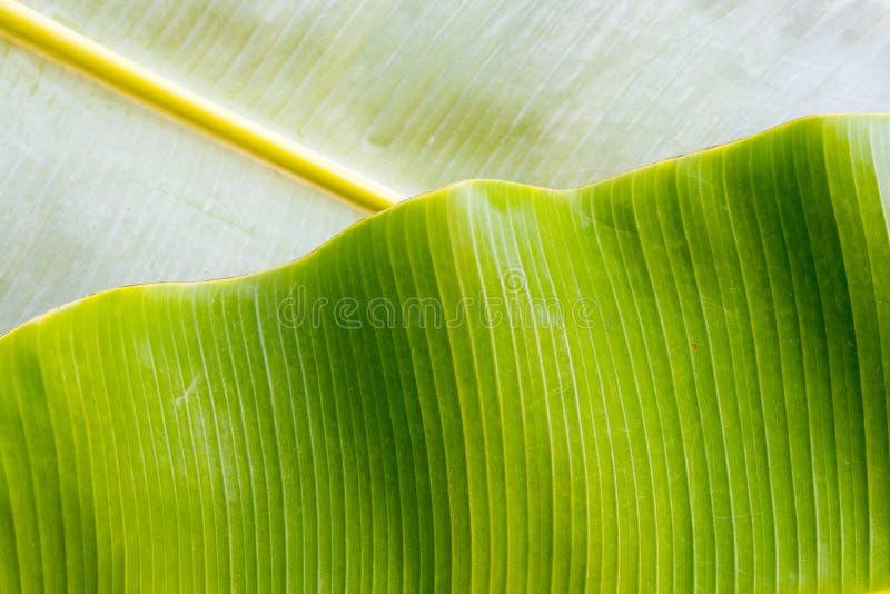 Tło tekstury natury kolorowy jaskrawy bananowy liść zdjęcie royalty free
