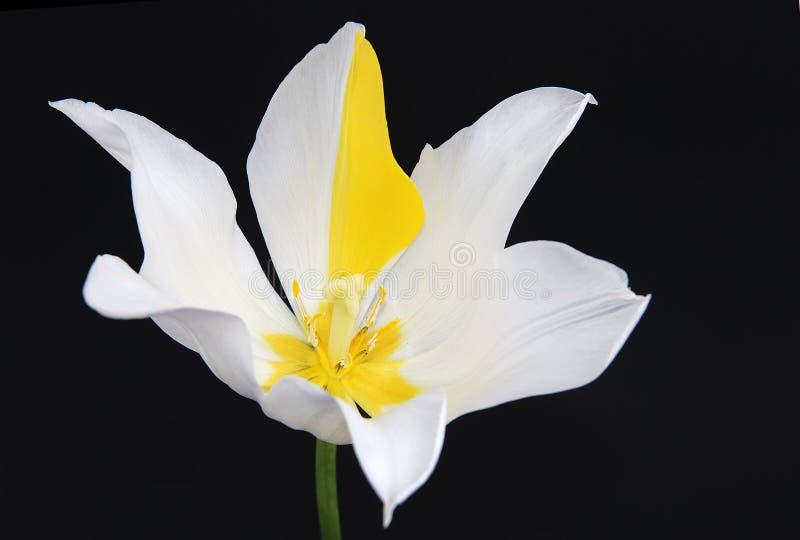 tło tulipan czarny nadzwyczajny obrazy royalty free