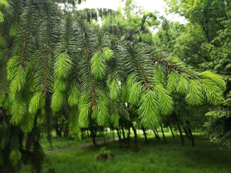 Tło w gałęzi zielonego drzewa Fir. Zwichnięcie młodej gałęzi Fir drzewem z kroplami, zamknij się fotografia stock