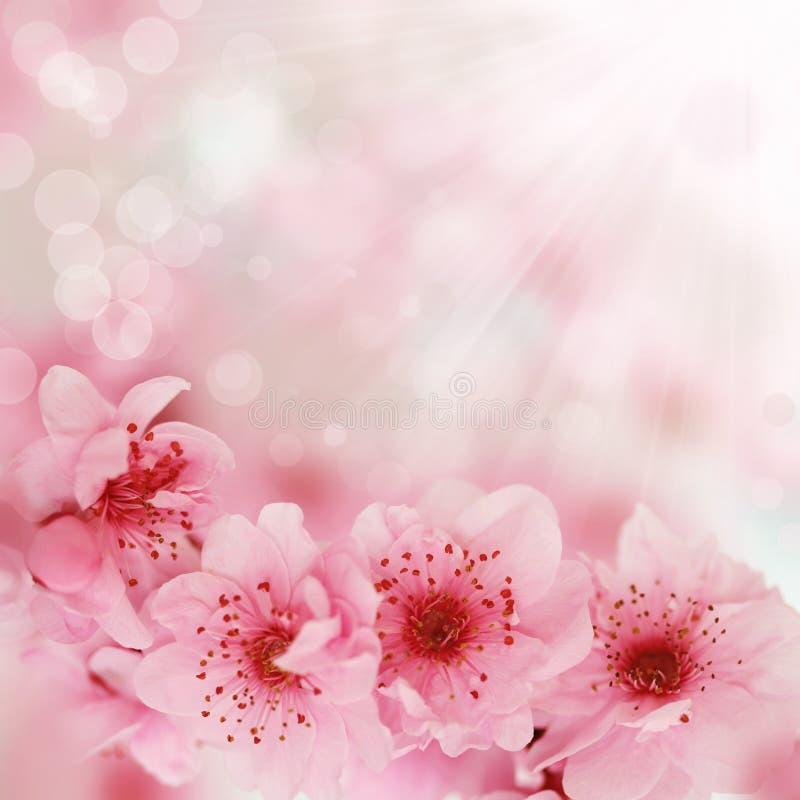 tło wiśnia kwitnie miękką wiosna fotografia stock