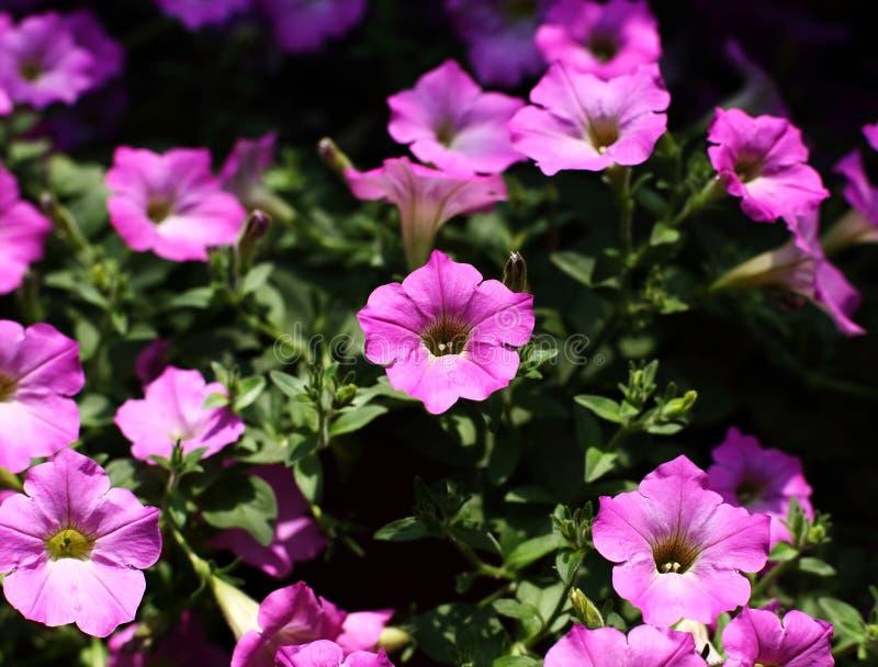 Tło wiele fiołkowy kwiat na ogródzie lub menchie obraz royalty free