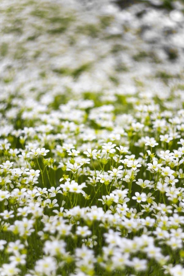 Tło wiele mali biali kwiaty w łące Makro- wizerunek z małą głębią pole zdjęcia stock