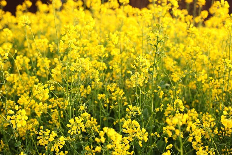 Tło wildflowers przy zmierzchem w lecie Rolny uprawy pole Rolnictwo, roślinność, wieś, wioska Rapeseed pole Bri obraz stock