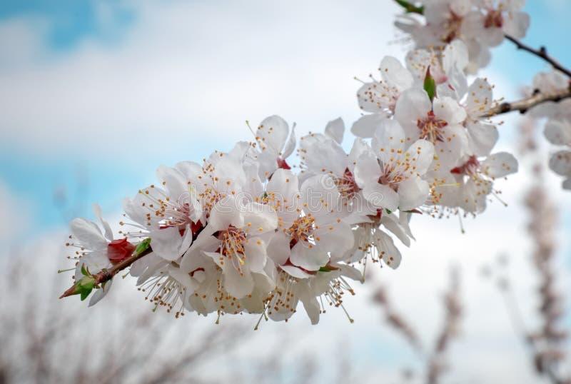 Tło wiosennego bloku Kwitnące morele obraz royalty free