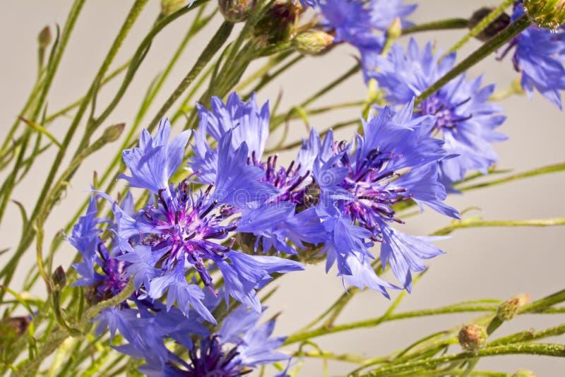 Tło z błękitnych cornflowers zamknięty up fotografia royalty free