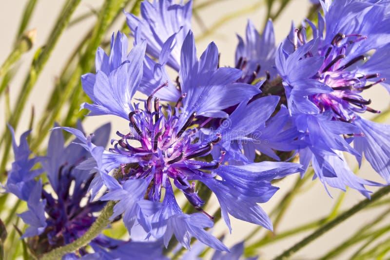 Tło z błękitnych cornflowers zamknięty up obraz royalty free
