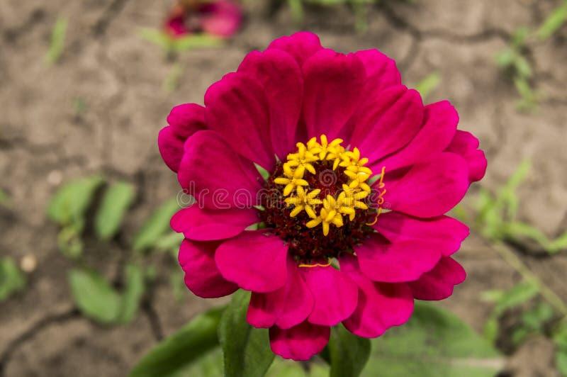 Tło z pięknym czerwonym kwiatem obrazy royalty free