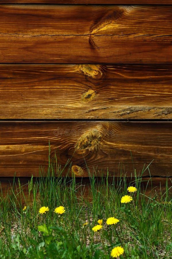 Tło z starego brązu drewnianymi deskami i żółtymi dandelions zdjęcia stock