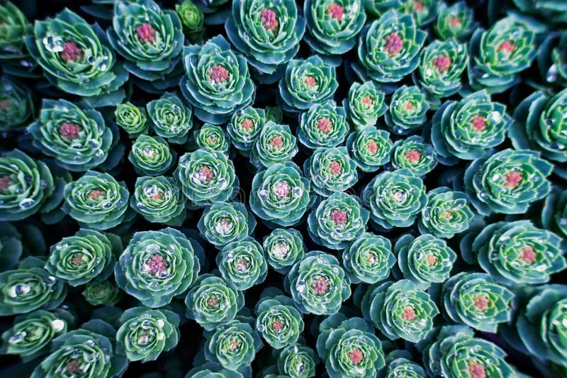 Tło z tłustoszowatą rośliną fotografia stock