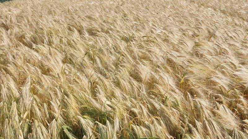 Tło z uszu o złotym kolorze, z dojrzałej naturalnej pszenicy ozimej, przetworzonej na mąkę i paszy dla krów obrazy stock