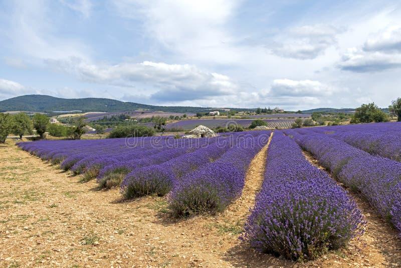 Tło z wibrującymi purpurowymi lawend polami przy górzystym, kwitnienie lokacja w Provence, Francja zdjęcia royalty free