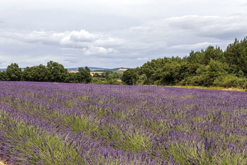 Tło z wibrującymi purpurowymi lawend polami przy górzystym, kwitnienie lokacja w Provence, Francja zdjęcie stock