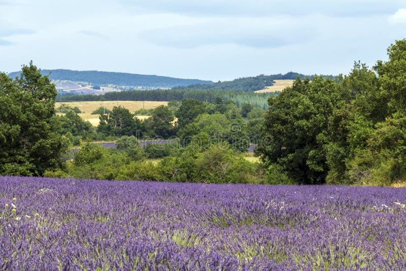 Tło z wibrującymi purpurowymi lawend polami przy górzystym, kwitnienie lokacja w Provence, Francja fotografia stock