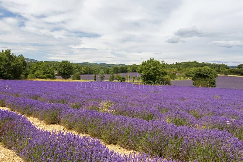 Tło z wibrującymi purpurowymi lawend polami przy górzystym, kwitnienie lokacja w Provence, Francja obrazy royalty free