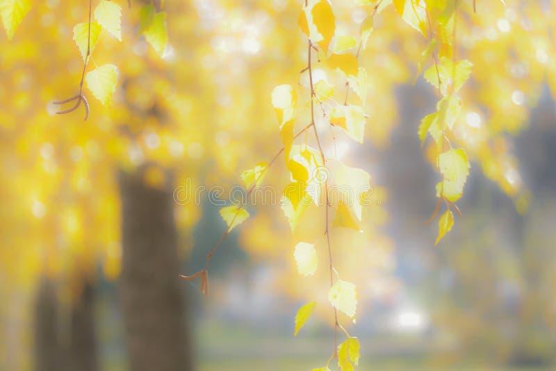 Tło zamazany wizerunek żółtej brzozy liście w pogodnym weather_ zdjęcia stock