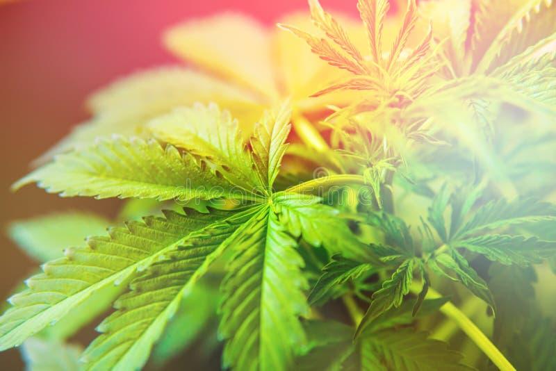 T?o ziele?, marihuana opuszcza, marihuany ro?linno?ci ro?liny, Narastaj?ca marihuana indica zdjęcia royalty free