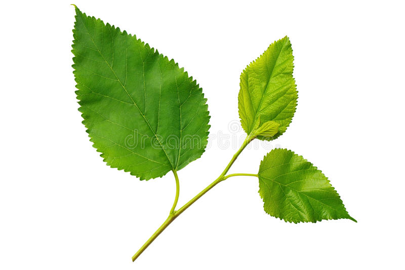 tło zieleń opuszczać morwowego biel obraz stock