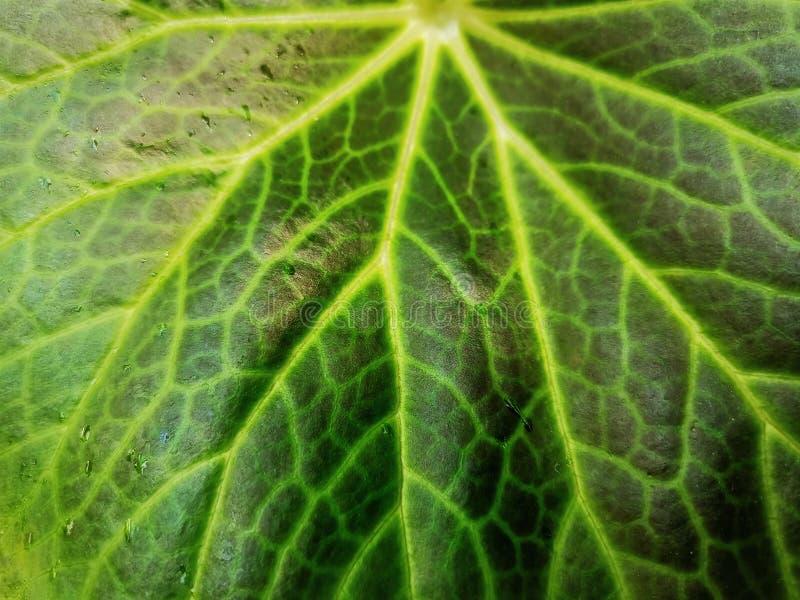 Tło Zielona liść tekstura z Małymi Wodnymi kropelkami obrazy royalty free