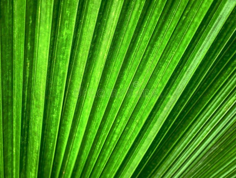 Tło Zielona Palmowego liścia tekstura z Selekcyjną ostrością obraz royalty free
