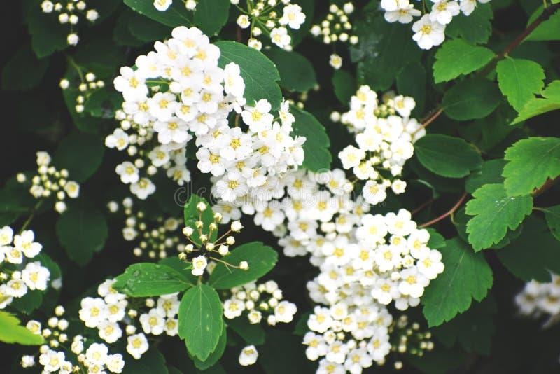 Tło zielona roślina z białymi kwiatami fotografia stock