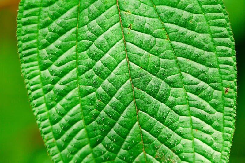 Tło zielony liść zdjęcie royalty free