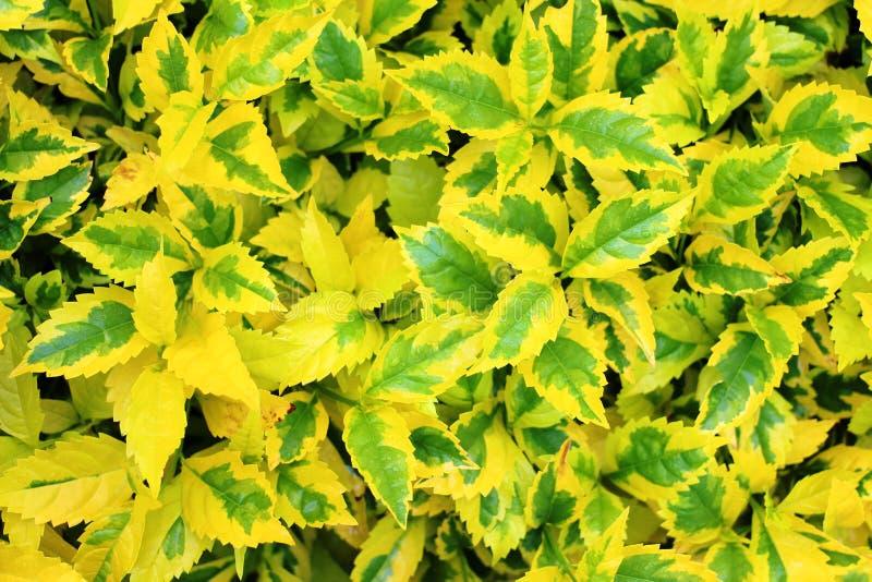 Tło zielonych i żółtych liści fotografia stock