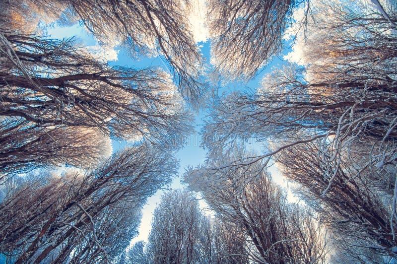 Tło zimy śnieżni drzewa w niebieskim niebie z chmurami, widok na mroźnym słonecznym dniu spod spodu zdjęcia royalty free