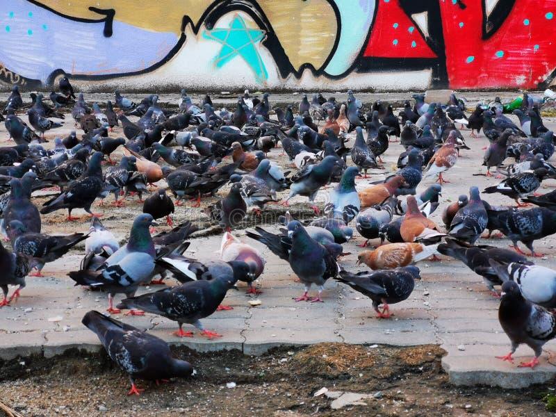 Tłum gołębie szuka jedzenie zdjęcia royalty free
