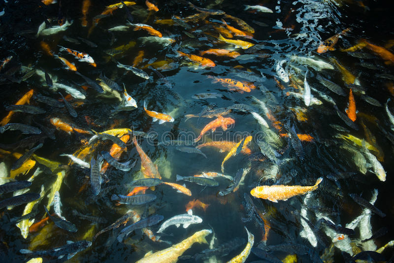 Tłum goldfish dopłynięcie pod powierzchnią woda w basenie outdoors, grono uczyć kogoś gaworzyć ryba obraz stock
