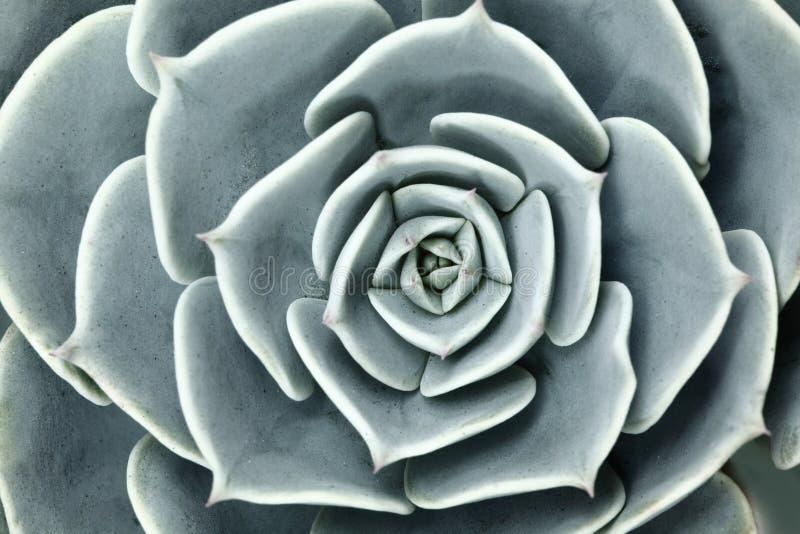 Tłustoszowata Kaktusowa roślina W ogródzie zdjęcie stock