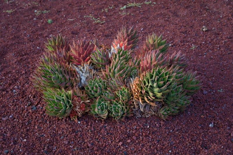 Tłustoszowata roślina zdjęcie stock
