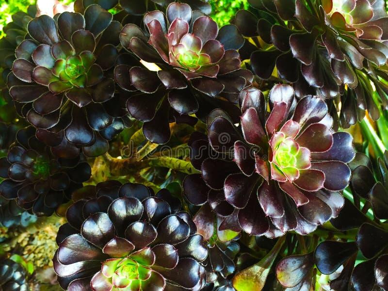 Tłustoszowata roślina obrazy royalty free