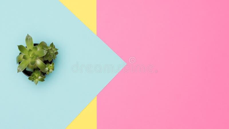 Tłustoszowata roślina na pastelu barwionym tle Domowa roślina na kolorowym tle zdjęcia stock