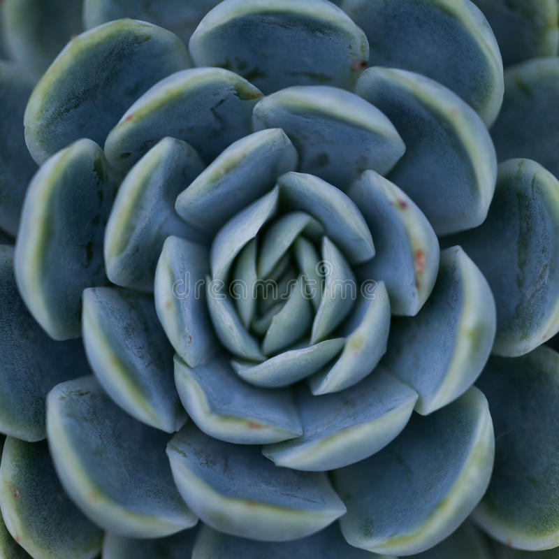 Tłustoszowata roślina, symetryczny wzór, natura/ fotografia royalty free