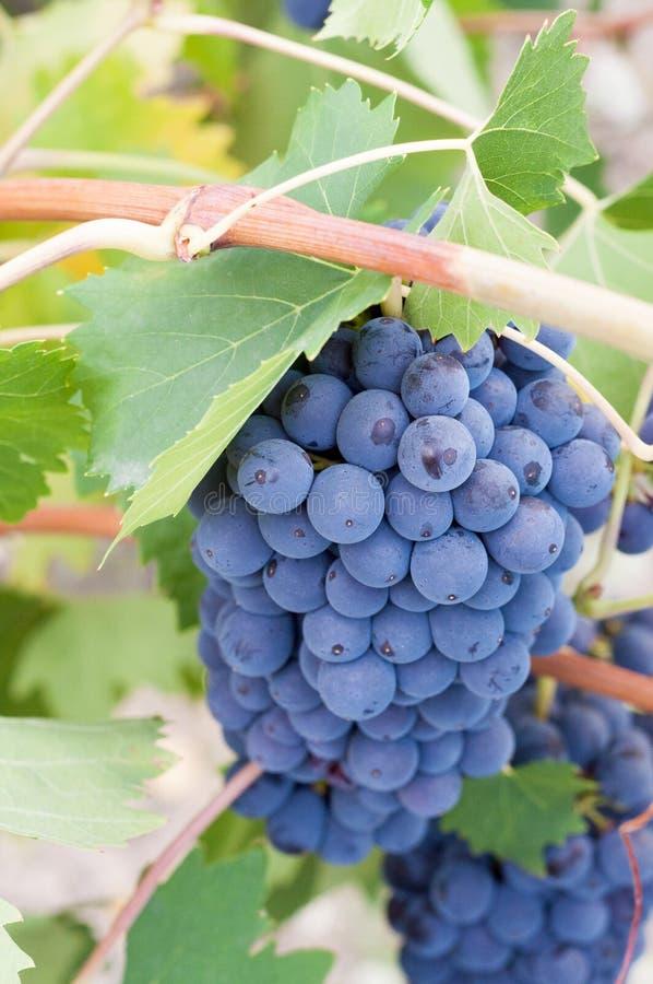 Tłustoszowata wiązka winogrona na winogradzie zdjęcie royalty free