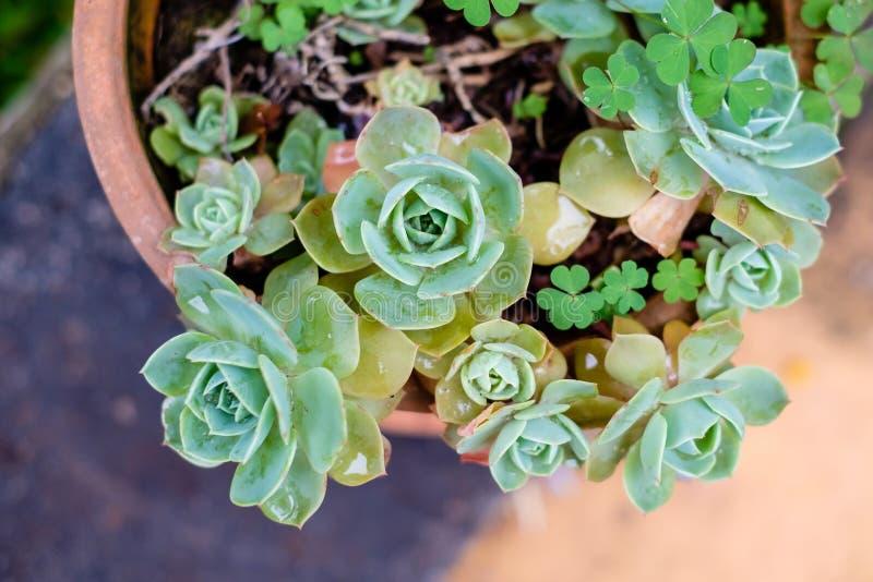 Tłustoszowaty kaktus w zbliżeniu, z pięknym wzorem fotografia royalty free