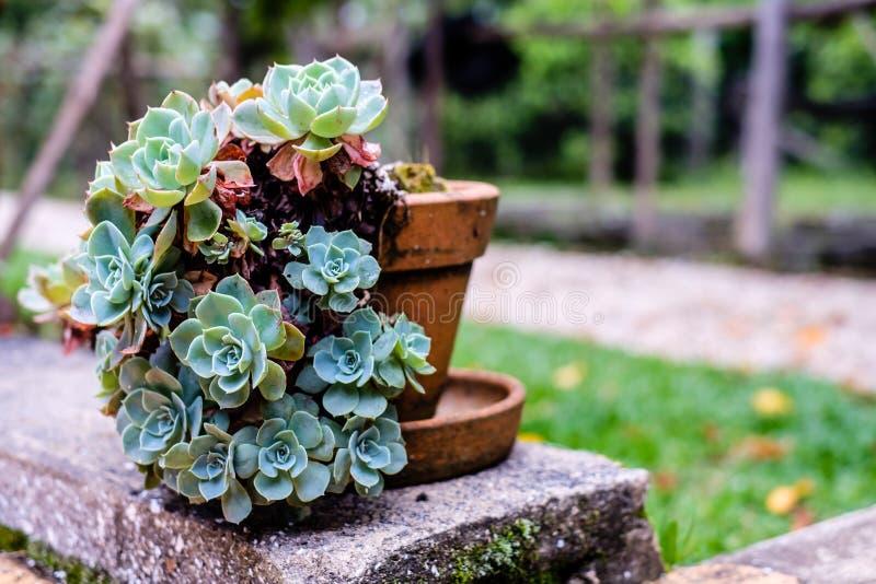 Tłustoszowaty kaktus w zbliżeniu, z pięknym wzorem zdjęcia royalty free
