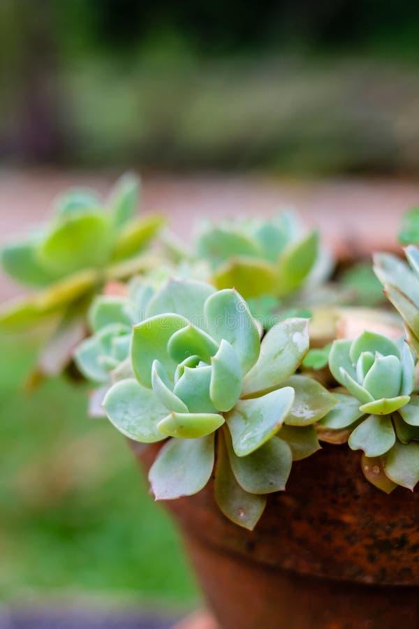 Tłustoszowaty kaktus w zbliżeniu, z pięknym wzorem obrazy stock