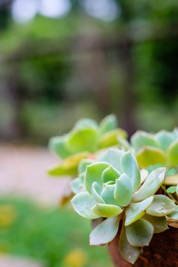 Tłustoszowaty kaktus w zbliżeniu, z pięknym wzorem zdjęcie royalty free