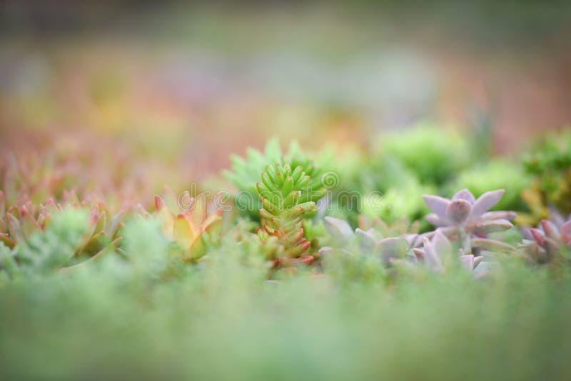 Tłustoszowaty rośliny gospodarstwo rolne obraz royalty free