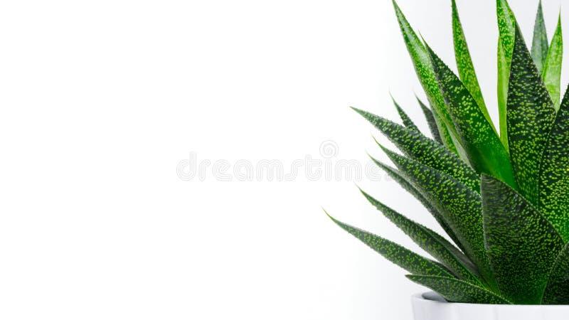 Tłustoszowaty rośliny zakończenie up Sukulentu domu roślina odizolowywająca na białym tle, sieć sztandar obraz royalty free