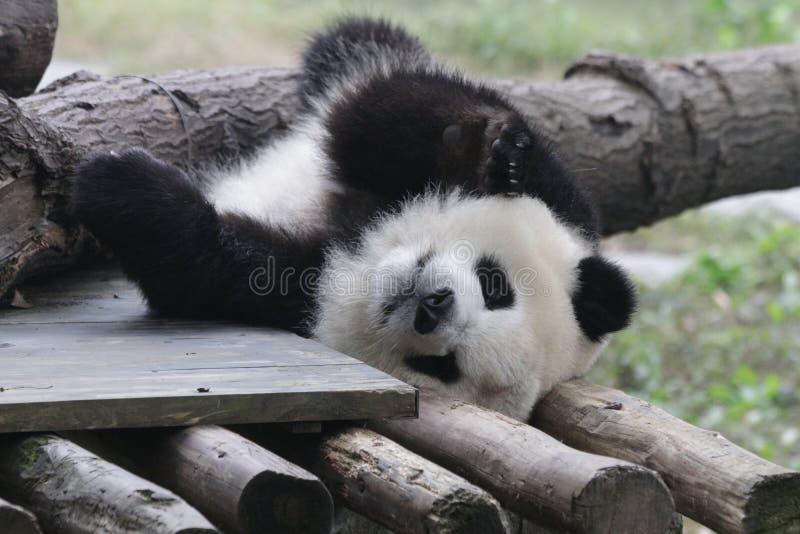 T熊猫Cub在重庆 免版税库存照片