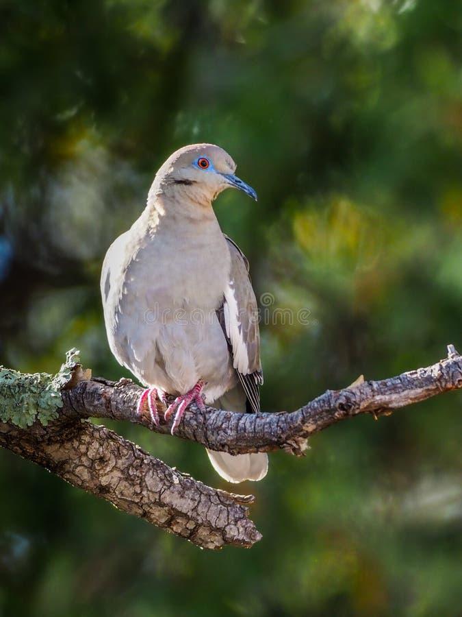 Άσπρος-φτερωτό περιστέρι στοκ εικόνες με δικαίωμα ελεύθερης χρήσης